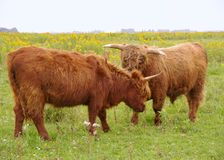 Hairy brown cattle Royalty Free Stock Photos