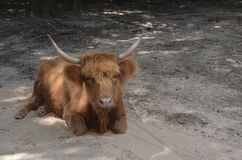 Hairy cow Royalty Free Stock Images