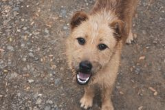 A hairy brown dog is looking up at the camera. A hairy brown dog is standing on a pebbled ground, looking up at the camera with its mouth open, showing its white royalty free stock images