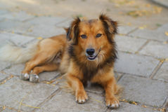 Hairy brown dog. Lying on the gray tile Stock Images