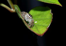 Hairy, brown jumping spider on a leaf. Hairy, brown jumping spider looking up from a leaf Stock Photos