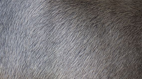 Hairy Buffalo. Textures and Background of Buffalo in Thailand Stock Images