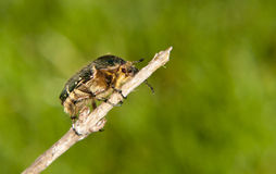 Hairy bug preparing to fly Royalty Free Stock Photo