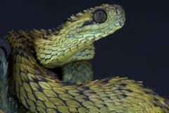 Hairy bush viper / Atheris hispida Stock Photography