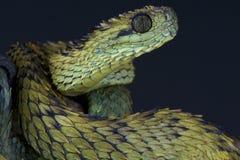 Hairy bush viper / Atheris hispida Stock Photography