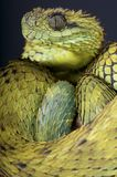 Hairy bush viper / Atheris hispida Stock Photo