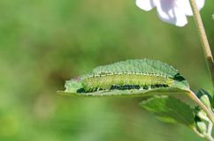 Hairy butterfly worm on leaf Royalty Free Stock Images