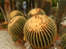 Hairy cacti Stock Photo
