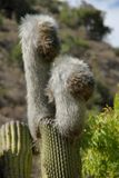 Hairy Cactus Royalty Free Stock Images