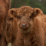 Hairy calf of highland cattle Royalty Free Stock Photo
