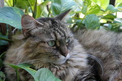 Hairy cat in garden 06 Royalty Free Stock Photos