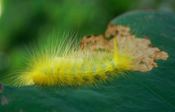 Hairy Caterpillar Stock Images