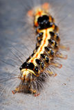 Hairy Caterpillar Stock Image