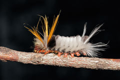 Hairy caterpillar Stock Photos