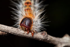 Hairy Caterpillar. A Hairy Caterpillar on a Stick with Black Background Royalty Free Stock Images
