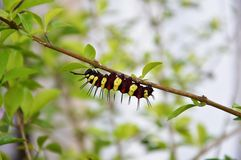 Hairy caterpillar on branch Stock Photography