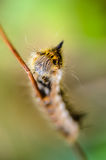 Hairy caterpillar of butterfly silkworm. Crawl on grass Stock Image