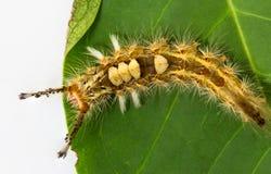Hairy caterpillar Stock Photos