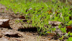 Hairy caterpillar crawling on the grass on a sunny day. Close-up. Hairy caterpillar crawling on ground in the sunny day. Close-up. Little traveler in a hurry to stock footage