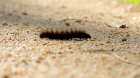 Hairy caterpillar crawling on ground in the sunny day. Close-up. Little traveler in a hurry to meet adventures. Beautiful insect explores the environment stock video footage