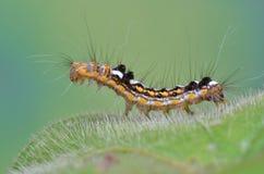 Hairy Caterpillar Stock Photo