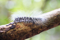Hairy caterpillar dew covered and crawl on bark Royalty Free Stock Photo