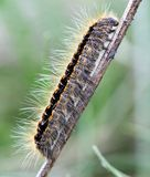 Hairy caterpillar Royalty Free Stock Photo