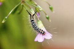 Hairy Caterpillar(Lapiddoptera Order). A cute, colored, covered with hair hazardous to human skin, could cause skin irritation when in contact, clinging on a Royalty Free Stock Photos