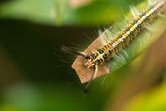 Hairy caterpillar Royalty Free Stock Photography