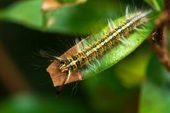 Hairy caterpillar Stock Images