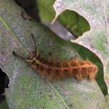 Hairy caterpillar on leaf. Munching yummy meal they need to metamorphosis cocoon phase. Macro photography. stock photo