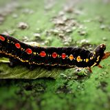 Hairy caterpillar on leaf. Munching yummy meal they need to metamorphosis cocoon phase. Macro photography. Caterpillar leaf munching yummy meal need royalty free stock images