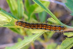 Hairy caterpillar of malacosoma castrense crawling a branch of grass. Hairy caterpillar of malacosoma castrense with a stripe on the back crawling a branch of Royalty Free Stock Photography