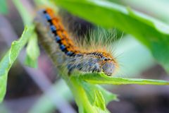 Hairy caterpillar of malacosoma castrense crawling a branch of grass. Hairy caterpillar of malacosoma castrense with a stripe on the back crawling a branch of Stock Photo