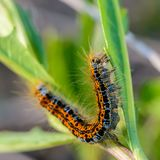 Hairy caterpillar of malacosoma castrense crawling a branch of grass. Hairy caterpillar of malacosoma castrense with a stripe on the back crawling a branch of Stock Images