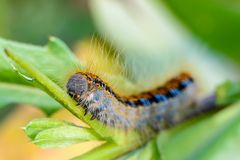 Hairy caterpillar of malacosoma castrense crawling a branch of grass. Hairy caterpillar of malacosoma castrense with a stripe on the back crawling a branch of Stock Image