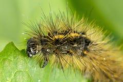 Hairy caterpillar Royalty Free Stock Image