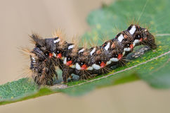 Hairy caterpillar with red and white dots. Beautifully bent on a piece of wood Stock Image