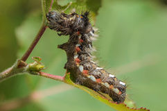 Hairy caterpillar with red and white dots. Beautifully bent on a piece of wood Stock Images