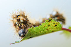 Hairy caterpillar with red and white dots. Beautifully bent on a piece of wood Royalty Free Stock Photos