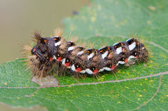 Hairy caterpillar with red and white dots. Beautifully bent on a piece of wood Royalty Free Stock Images