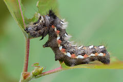 Hairy caterpillar with red and white dots. Beautifully bent on a piece of wood Stock Photos