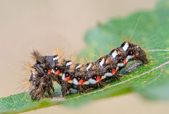Hairy caterpillar with red and white dots. Beautifully bent on a piece of wood Royalty Free Stock Image