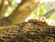 Hairy caterpillar Royalty Free Stock Image
