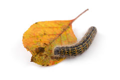 Hairy caterpillar worm on a leaf. isolated on white Royalty Free Stock Image