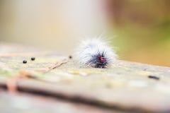 Hairy caterpillars Royalty Free Stock Photo