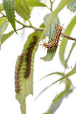 Hairy Caterpillars on green leave Royalty Free Stock Images