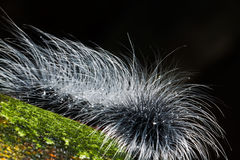 Hairy caterpillars Stock Photo