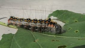 Hairy colored caterpillar moving on a leaf stock video