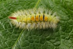Free Hairy Colorful Caterpillar Royalty Free Stock Images - 134492589